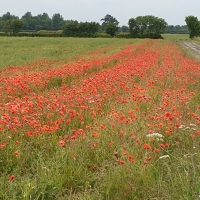 Field of Poppies, West of Bickerton